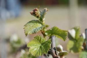 mladica vinove loze (1)